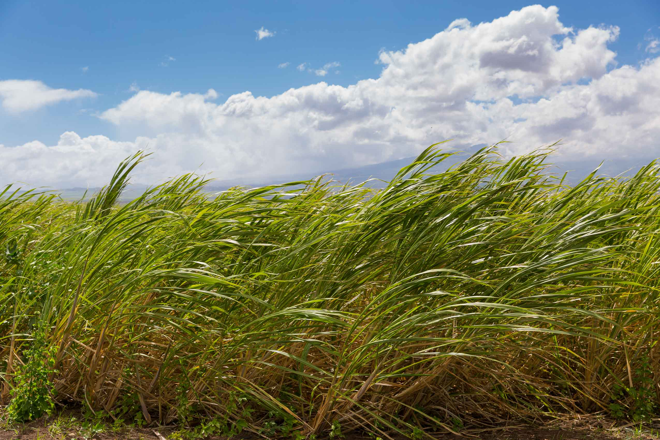 A crop of sugar cane on the island of Maui, Hawaii
